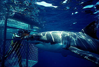 Great White Shark cage dives in South Australia